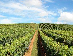 vinograd-na-padini